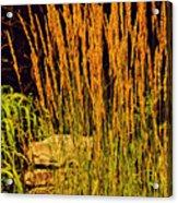 The Tall Grass Acrylic Print