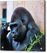 The Thinking Gorilla Acrylic Print
