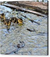 The Three Amigos Ducklings Acrylic Print