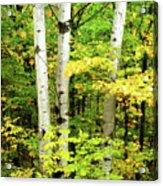The Three Birch Acrylic Print