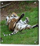 The Tiger At Play Acrylic Print
