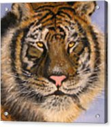 The Tiger, 16x20, Oil, '08 Acrylic Print