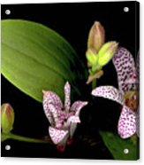 The Toad Lily Acrylic Print