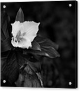 The Trillium Season Acrylic Print