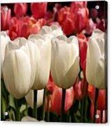 The Tulip Bloom Acrylic Print
