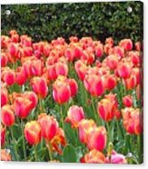 The Tulips Are Coming Acrylic Print