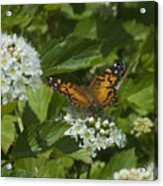 The Unnamed Butterfly Acrylic Print