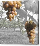 The Vineyard 2  Acrylic Print