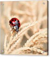 The Wandering Ladybug Acrylic Print
