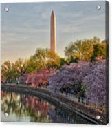 The Washington Monument And The Cherry Blossoms Acrylic Print