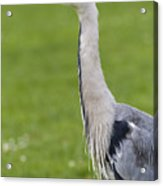 The Watchful Heron Acrylic Print