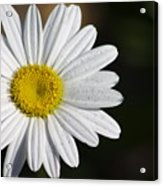 The White Daisy Acrylic Print by Danielle Allard