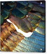 The White Feather - Iridescent Duck Acrylic Print