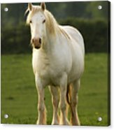 The White Horse Acrylic Print