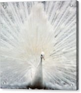 The White Peacock Acrylic Print