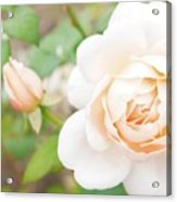 The White Washed Rose Acrylic Print