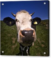 The Wideangled Cow  Acrylic Print