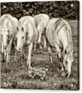 The Wild Horses Of Shannon County Mo 7r2_dsc1111_16-09-23 Acrylic Print