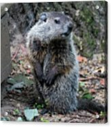 The Woodchuck Has To Pee Acrylic Print