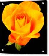 The Yellow Rose Acrylic Print