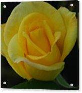 The Yellow Rose Of Texas Acrylic Print