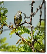 The  Yellow-rumped Warbler Acrylic Print