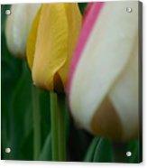The Yellow Tulip Acrylic Print