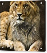 The Young Lion Acrylic Print