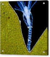 Thecate Hydrozoan Clytia Sp., Lm Acrylic Print