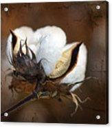 Them Cotton Bolls Acrylic Print