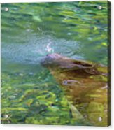 There She Blows Manatee Acrylic Print