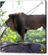 Theres Nothing Like A Good Roar To Start The Morning Acrylic Print
