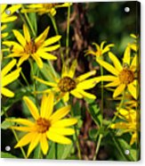 Thin-leaved Sunflower Acrylic Print