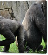 Thinking Gorilla Acrylic Print