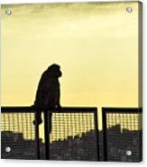 Thinking Monkey Acrylic Print