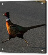 Thinks He's A Roadrunner Acrylic Print