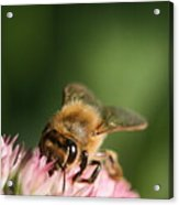 Thirsty For Nectar Acrylic Print