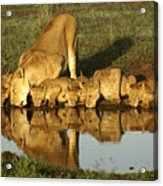 Thirsty Lions Acrylic Print