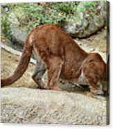Thirsty Puma  Acrylic Print