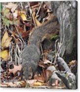 Thirsty Squirrel Acrylic Print
