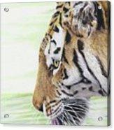 Thirsty Tiger Acrylic Print