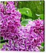 This Lilac Has Flowers With A White Edging.1 Acrylic Print