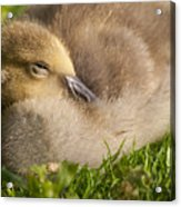 This Little Guy Needs A Nap Acrylic Print
