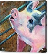 This Little Piggy Acrylic Print