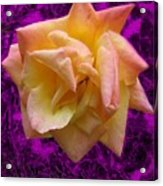 This Rose For You Acrylic Print