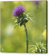Thistle And Mustard Acrylic Print