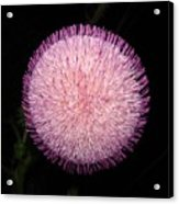 Thistle Bloom At Night Acrylic Print