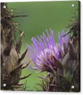 Thistle In Hiding Acrylic Print