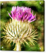 Thistle - The Flower Of Scotland Watercolour Effect. Acrylic Print
