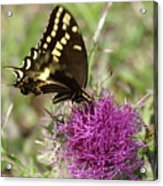 Thistle While You Work Acrylic Print